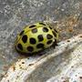 22 Spot Ladybird 12-02-10