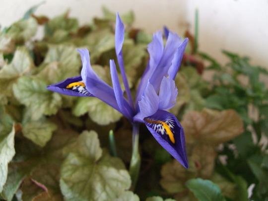 Iris reticulata 'Harmony' (Iris reticulata (Iris))