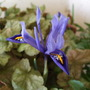 Iris_reticulata_harmony_