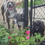 Dogs in Backyard with KnockOut Rose Bush in Front