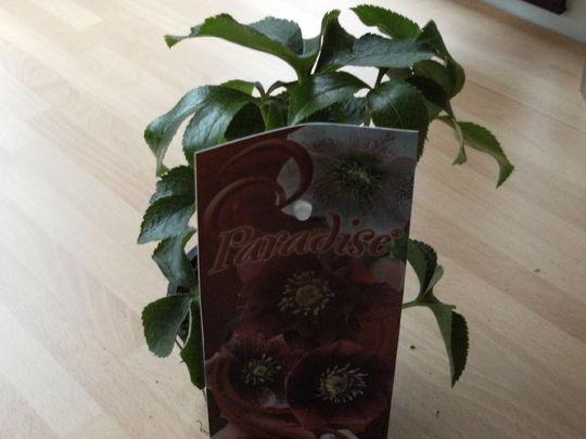Helleborus Orientalis    'Paradise '