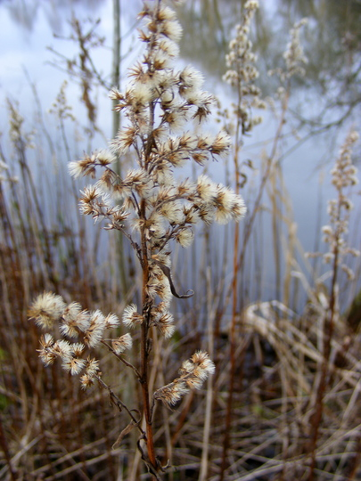 Interesting Seedheads by the Pond