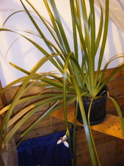 Neomarica gracilis (Neomarica gracilis)
