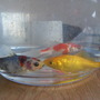 My new Fish