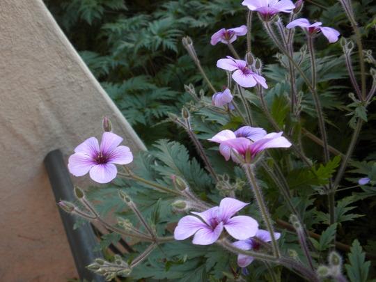 Geranium maderense - Madeira Geranium (Geranium maderense - Madeira Geranium)