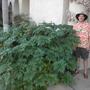 Geranium maderense - Madeira Geranium and me in Balboa Park (Geranium maderense - Madeira Geranium)