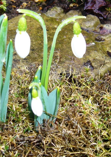 TINY SNOWDROP  from my new poem blog.