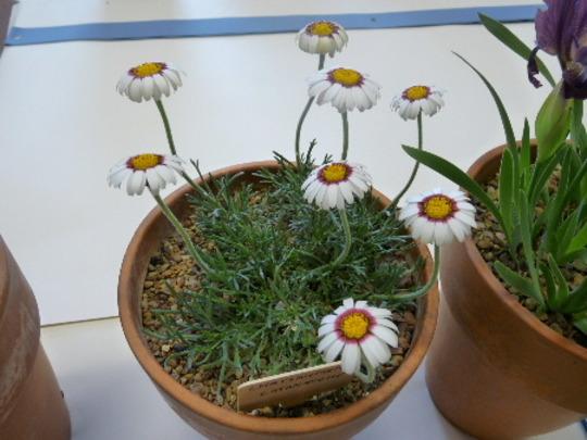 Chrysanthemum catananche