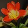 Clivia closeup........ (Clivia miniata (Clivia))