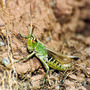 Crickets_call_courting_their_ladies_in_star_dappled_green_copy