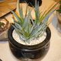 New succulent, probably Aloe ramosissima
