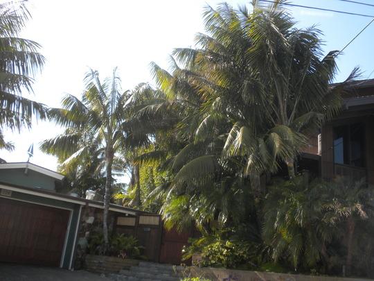 House of Kentia Palms (Howea fosterana - Kentia Palms)