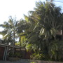 House of Kentia Palms (Howea fosterana - Kentia Palms)