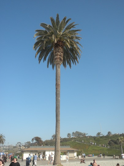 Phoenix canariensis - Canary Island Palm (Phoenix canariensis - Canary Island Palm)