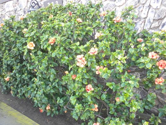 Orange Hibiscus Hedge in Ecninitas, CA.  (Hibiscus rosa-sinensis - Orange Hibiscus)