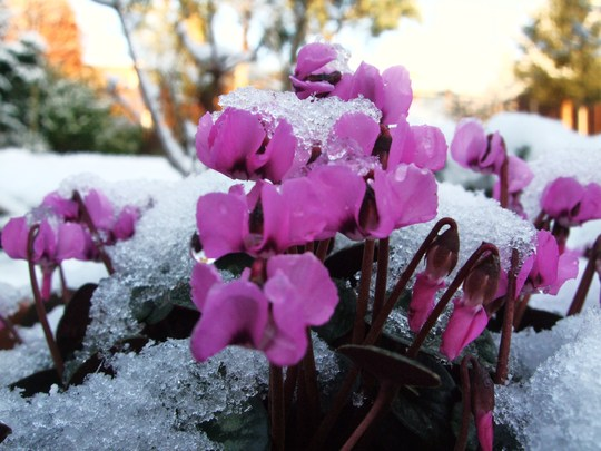 Spring snow covered flowers. (Cyclamen alpinum)