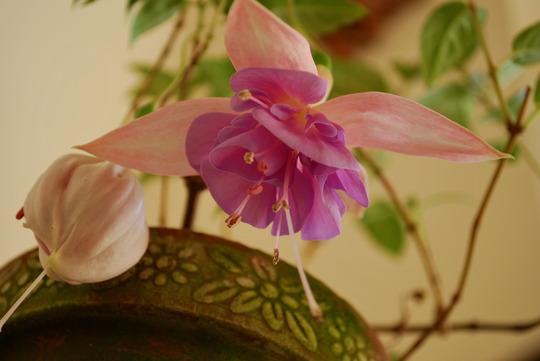 Fuchsia flowering in porch. Think this is Ernie Wise.? (Fuchsia.)