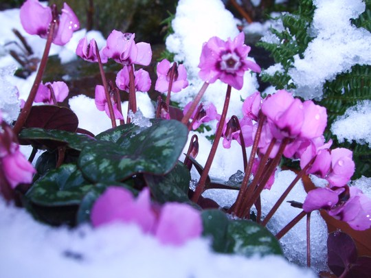 Cyclamen. (Cyclamen alpinum)
