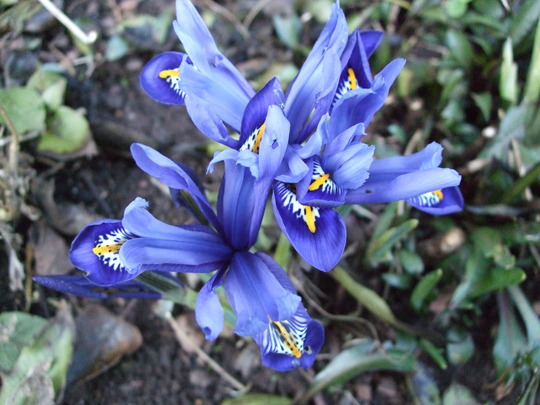 Iris reticulata (Iris reticulata)