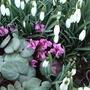 Snowdrops and Cyclamen coum (Cyclamen coum (Cyclamen))