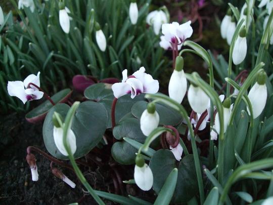 Snowdrops and white Cyclamen coum. (Cyclamen coum (Cyclamen))