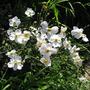 Anemone - Andrea Atkinson (Anemone x hybrida (Japanese anemone))