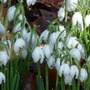 After the rain............ (Galanthus elwesii (Snowdrop))
