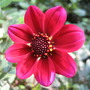 Dahlia - Bishop of LLandaff (Dahlia Pinnata (Dahlia))