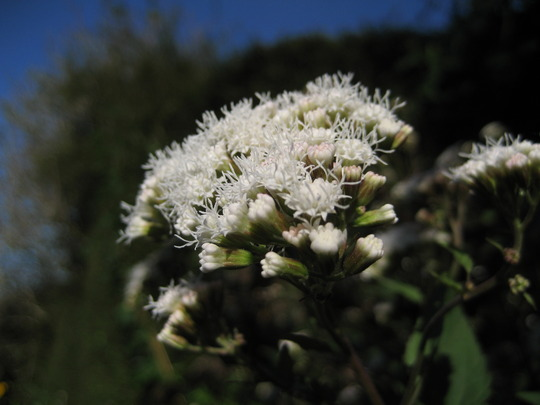 Eupatorium Rugosum - Chocolate (Eupatorium rugosum (White snake root))