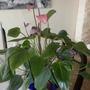 Anthurium 'Purple Flower'