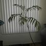 Chamaedorea seifrizii - Bamboo Palm (Chamaedorea seifrizii - Bamboo Palm)