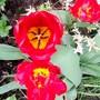 tulips next to the patio. (Tulipa)