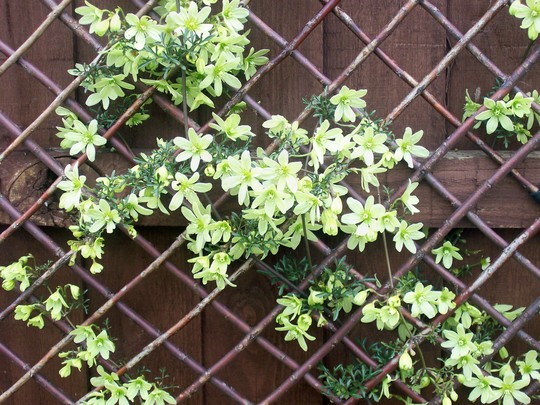 clematis 'pixie' going strong in april (Clematis 'pixie')