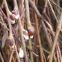 Willow bud.jpg