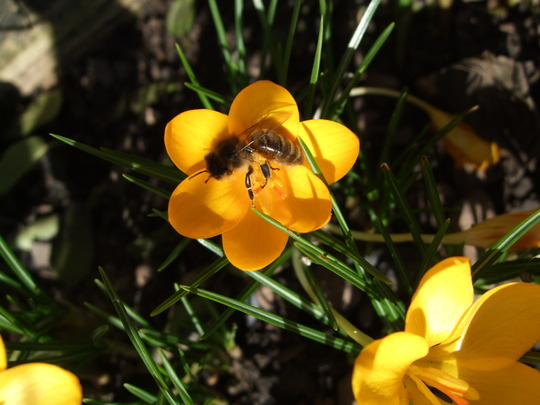 Bee in the sun (Crocus)