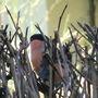 Bullfinch_11
