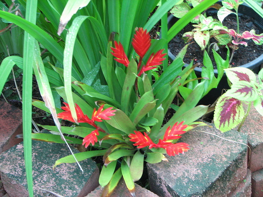 End-of-Summer downunder:  Bromeliad is blooming.