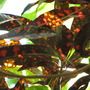 End-of-Summer downunder:  Sunlight through the Croton. (Codiaeum variegatum)