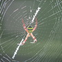 End-of-Summer downunder:  St Andrew's Cross Spider spinning in the sunlight.