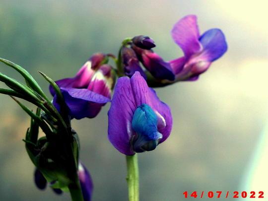 lathyrus vernus (lathyrus vernus)