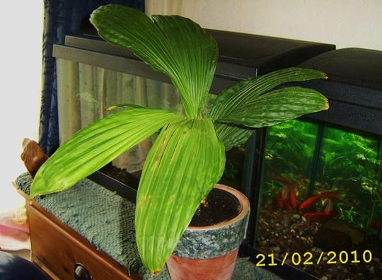 Carludovica palmata, 'Jungle Drum' (Carludovica palmata)