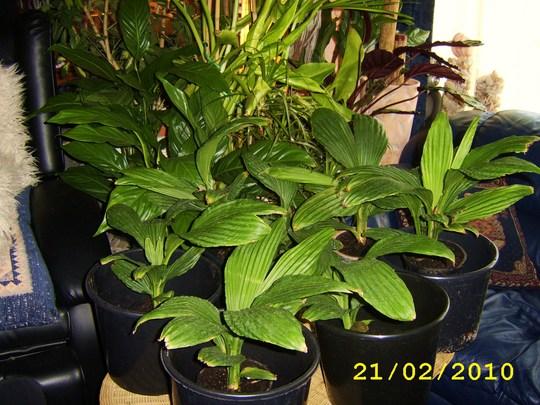 Carludovica palmata, Jungle Drum.