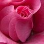 Rose_210210