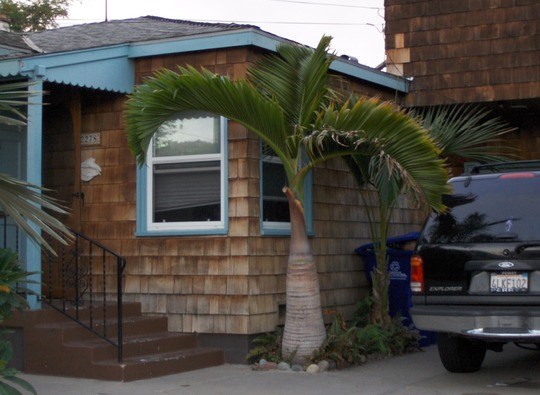 Hyophorbe lagenicaulis - Bottle Palm in San Diego, CA. at Ocean Beach (Hyophorbe lagenicaulis - Bottle Palm)