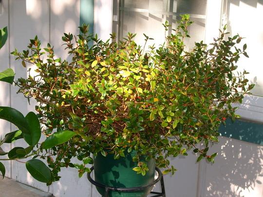 Nematanthus gregarius - Gold Fish Plant (Nematanthus gregarius - Gold Fish Plant)
