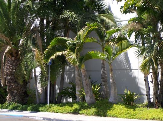 Hyophorbe lagenicaulis - Bottle Palms in San Diego, CA (Hyophorbe lagenicaulis - Bottle Palm)