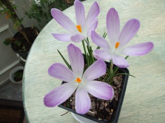 Lilac_crocus.Vangaurd