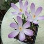 Lilac_crocus