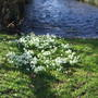 Snowdrops_water