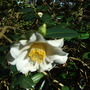White_camellia_at_dunster_castle